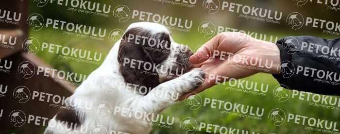 Yavru Köpek Tasma Eğitimi