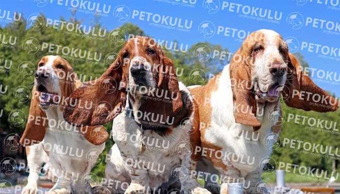 Basset Hound Köpeği Özellikleri
