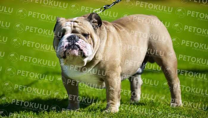 İngiliz Bulldog ırkı