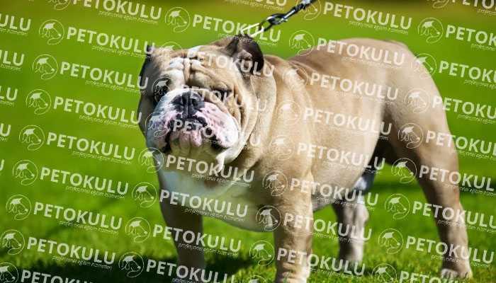 İngiliz Bulldog Bakımı