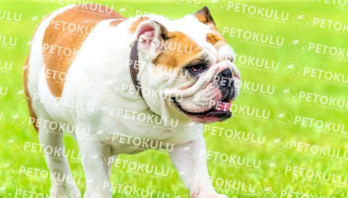 İngiliz Bulldog Eğitimi