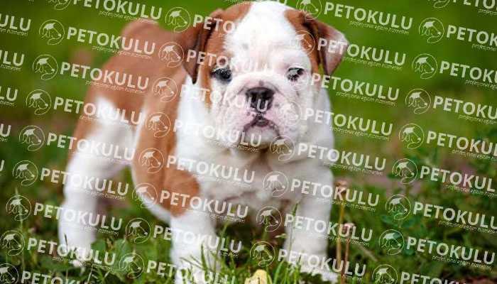 İngiliz Bulldog Egzersiz İhtiyacı