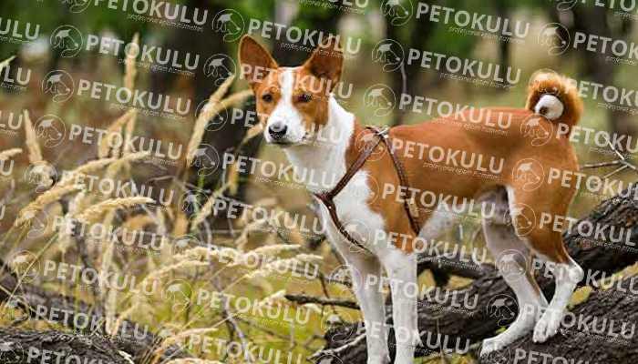 Basenji Irkından Köpekler Çok Az Havlar