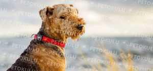 Airedale Terrier Eğitimi ve Özellikleri