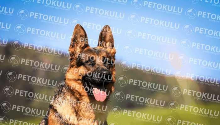 Alman Çoban Köpeği Karakter Özellikleri