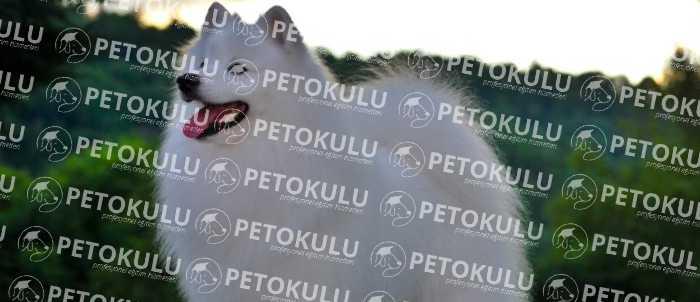 American Eskimo Dog Bakımı