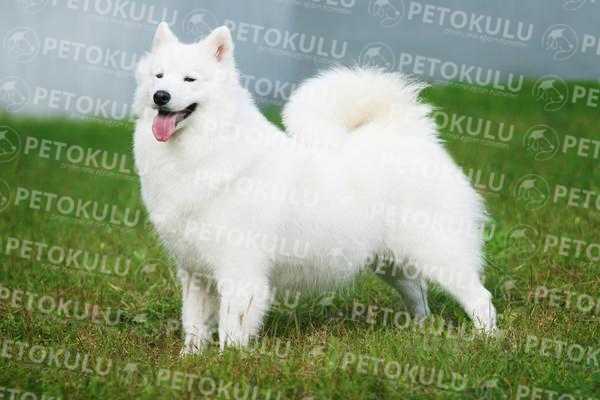 American Eskimo Dog Eğitimi ve Hakkında Bilgiler