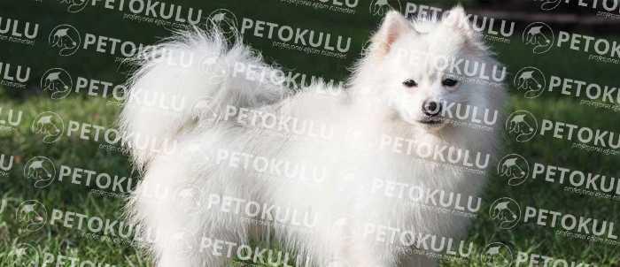 American Eskimo Dog Egzersiz İhtiyacı