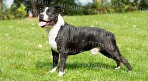 Beklenen Amerikan Staffordshire Terrier Eğitimi ve Özellikleri