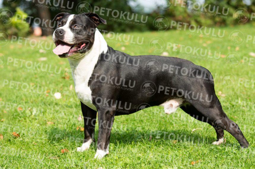 Beklenen Yazı Amerikan Staffordshire Terrier Eğitimi ve Özellikleri