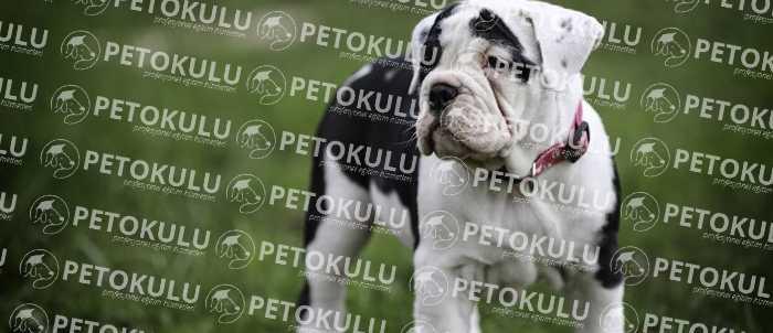 Amerikan Bulldog İtaat Eğitimleri