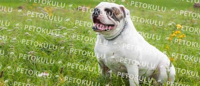 Amerikan Bulldog Köpeği Kalıtsal Hastalıklar