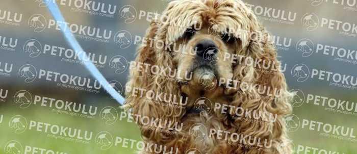 Amerikan Cocker Çocuklar ve Diğer Evcil Hayvanlar İle İletişimi