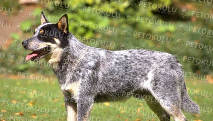 Australian Cattle Dog Eğitimi