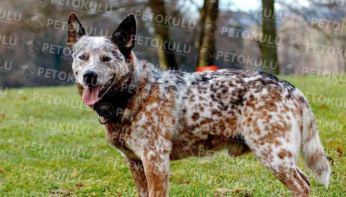 Australian Cattle Dog Karakter Yapısı