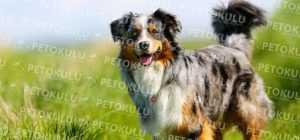 Australian Shepherd eğitimi ve özellikleri
