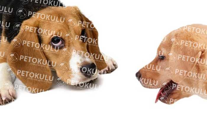 Beagle Cinsi Köpek Özellikleri