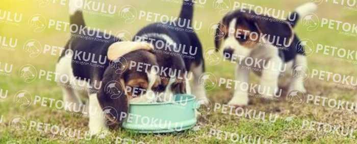 Beagle Köpeği Bakımı