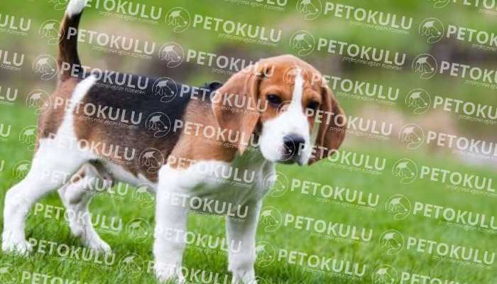 Beagle Köpek Sağlık Durumu