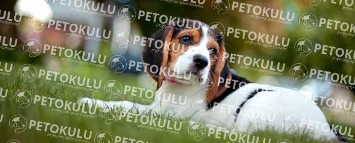 Beagle Karakter Yapısı