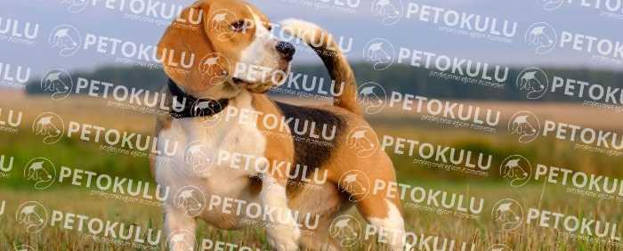 Beagle Temel İtaat Eğitimi