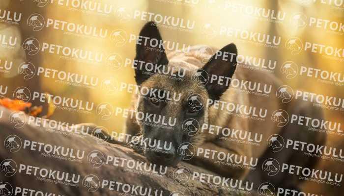 Belçika Malinois Köpek Görünümü