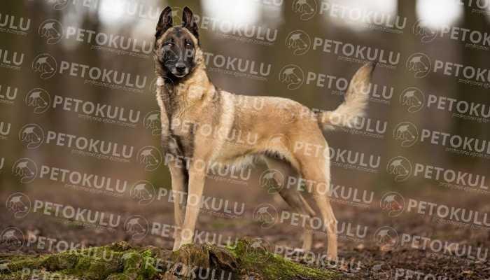 Polis Köpeği! Belgian Malinois Eğitimi ve Özellikleri