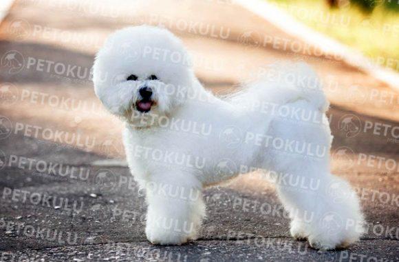 Kucak Köpeği! Bichon Frise Irkı Eğitimi ve Özellikleri