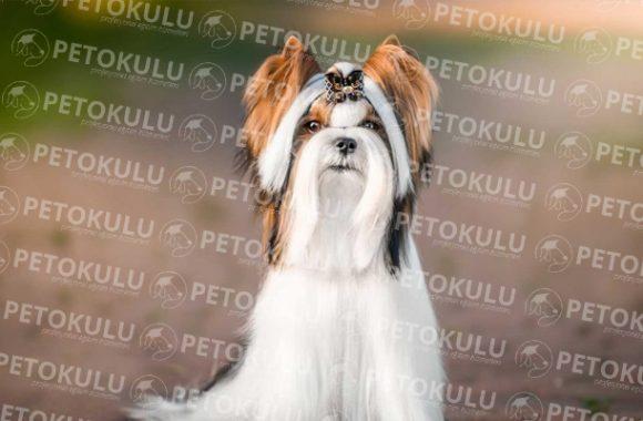 Apartma Köpeği! Biewer Yorkshire Terrier Eğitimi ve Özellikleri