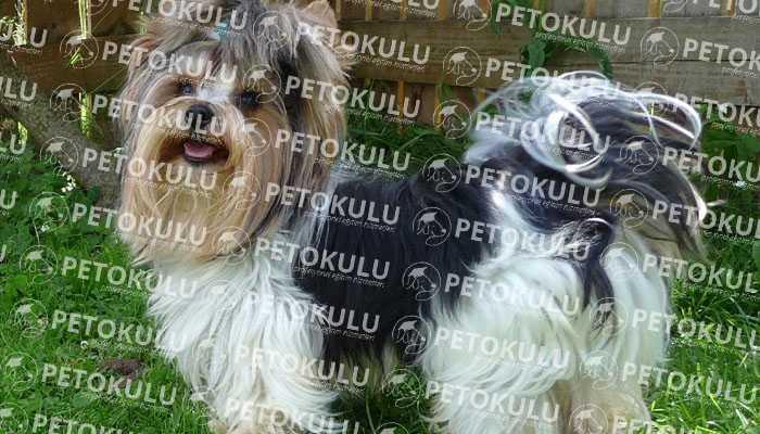Biewer Yorkshire Terrier Eğitimi