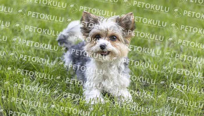 Biewer Yorkshire Terrier Egzersiz İhtiyacı
