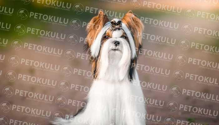 Biewer Yorkshire Terrier Eğitimi ve Özellikleri