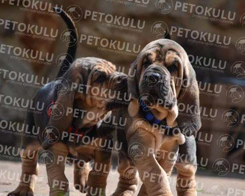 Bloodhound Irkı Eğitimi ve Özellikleri