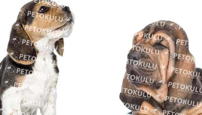 Bloodhound Bakımı