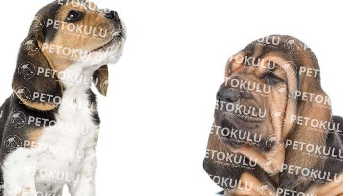 Bloodhound Köpek Kişiliği