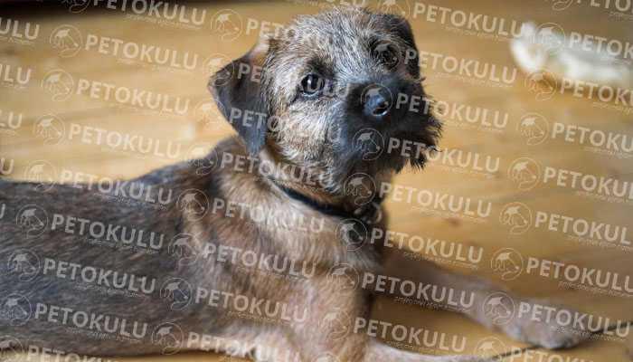 Border Terrier Kürk ve Tüy Yapısı