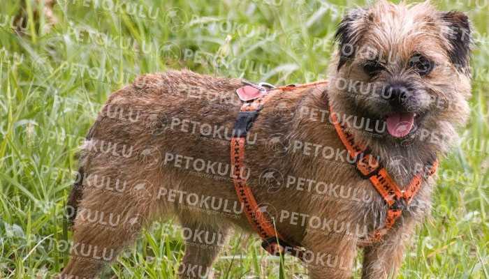 Border Terrier Karakter Özellikleri