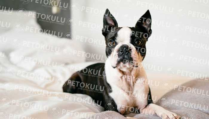 Boston Terrier Köpek Kişiliği