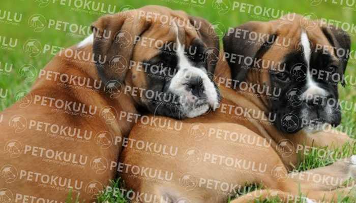 Boxer Köpeği Sağlık Durumu