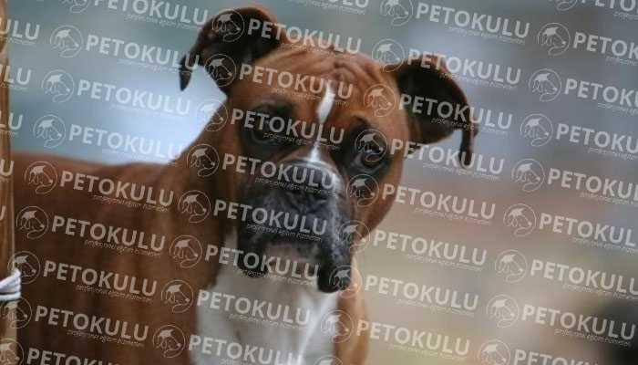 Boxer Köpek Kişiliği