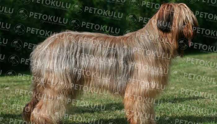 Briard Köpek Bakımı