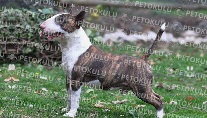 Bull Terrier Tüyleri