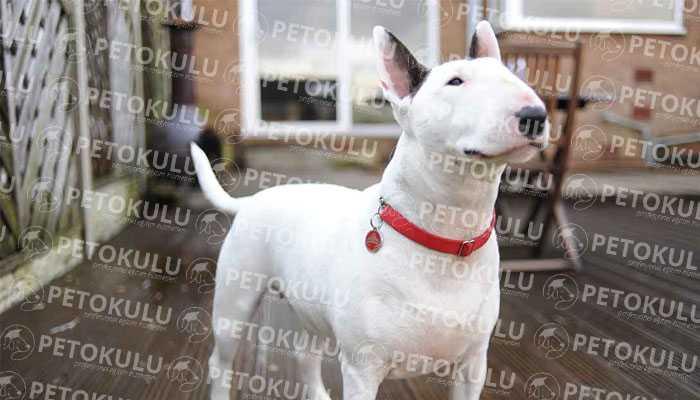 Bull Terrier Eğitimi