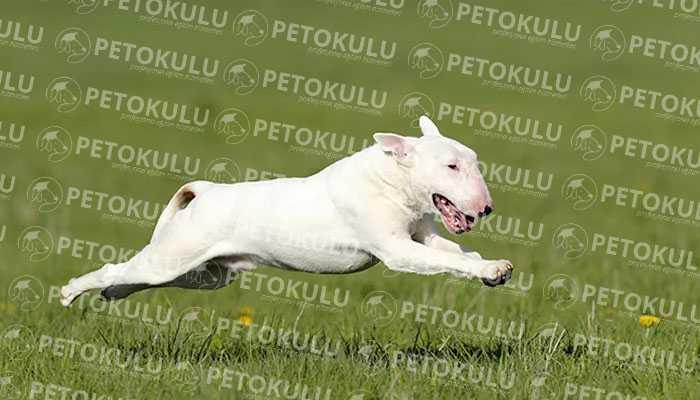 Bull Terrier Nasıl Bir Köpektir