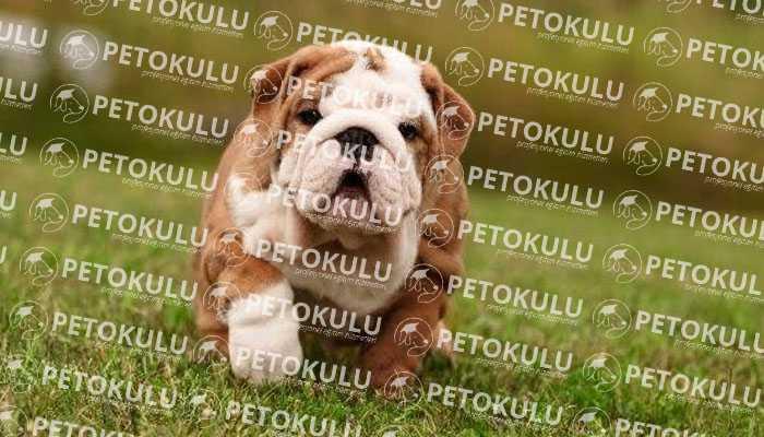 Bulldog Köpek Bakımı