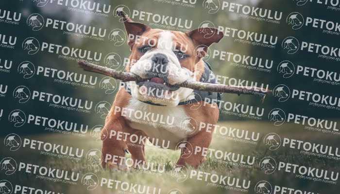 Bulldog Köpek Görünümü