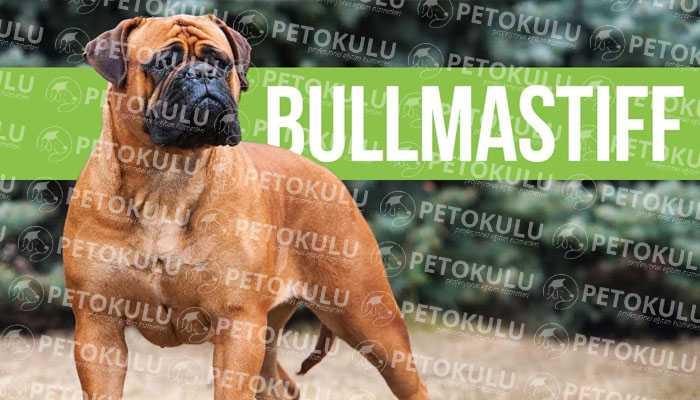 Bullmastiff Bakımı