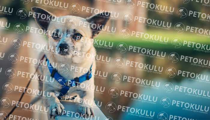 Chihuahua Bakımı