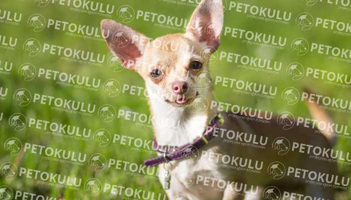 Chihuahua Karakter Yapısı
