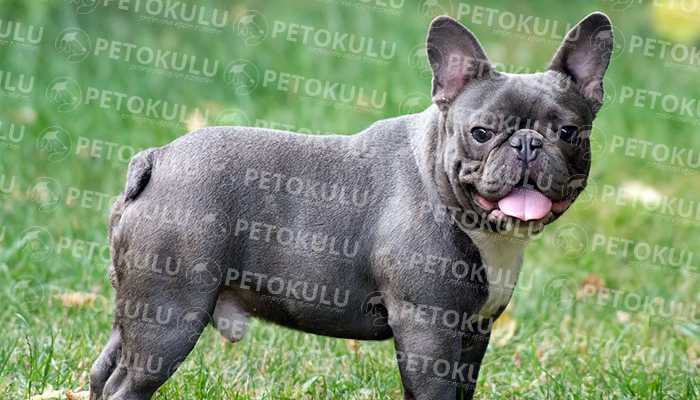 Fransız Bulldog ırkı